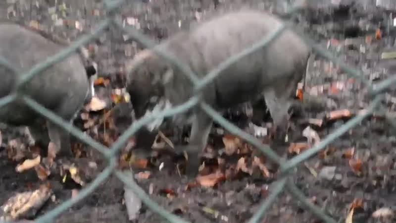 Висайские бородавчатые свиньи Animal Planet