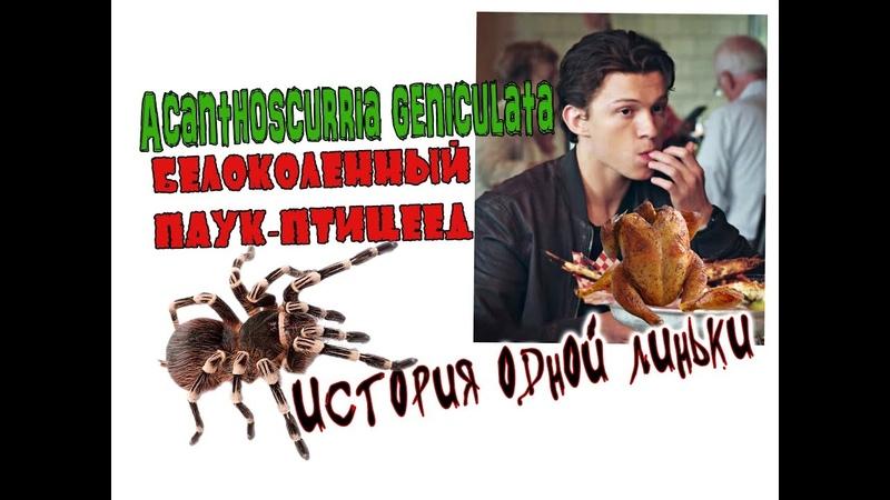История одной линьки. БЕЛОКОЛЕННЫЙ ПАУК ПТИЦЕЕД Acanthoscurria geniculata