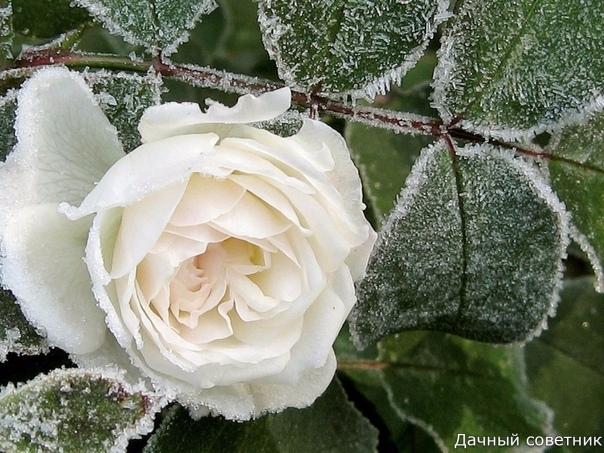 Уход за розами в октябре