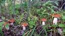 ВОТ ЭТО СКАЗКА! Белые грибы и подосиновики 2019. Поляны грибов!