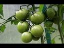 Уход за томатами во второй половине лета Поликарбонат ГРИНХАУС-НАНО часть4