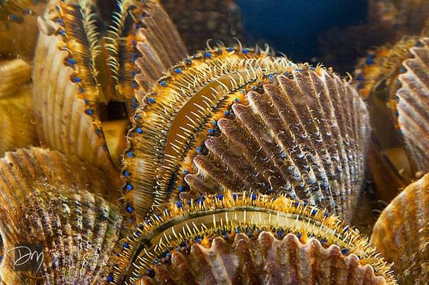 У морского гребешка (Pectinidae