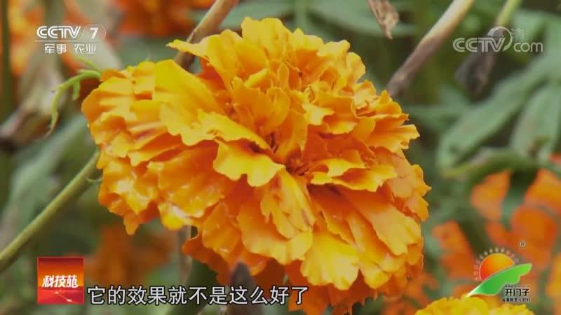 Съедобные цветы ''ШиЮн ХуаХуэй''. Хризантемы ''ЦзюйХуа'' (хризантема цветок) и Бархатцы (тагетес) ''ВаньШоуЦзюй'' (долголетия хр