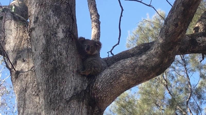 Sleepy Koala Takes a Nap on Tree