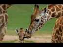 Жирафы Дикая Африка Поведение жирафа и образ жизни