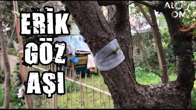 Erik Ağacına Göz Aşı Nasıl Yapılır