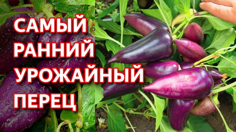 Этот перец вырастет даже в холодной сибири Перец Сиреневый Блеск от Семена Алтая Перец для Сибири