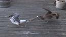 ЧАЙКА ПРОТИВ вороны голубя утки пеликана сокола и даже горностая Чайка в деле