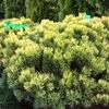 Саженцы деревьев и кустарников в Москве