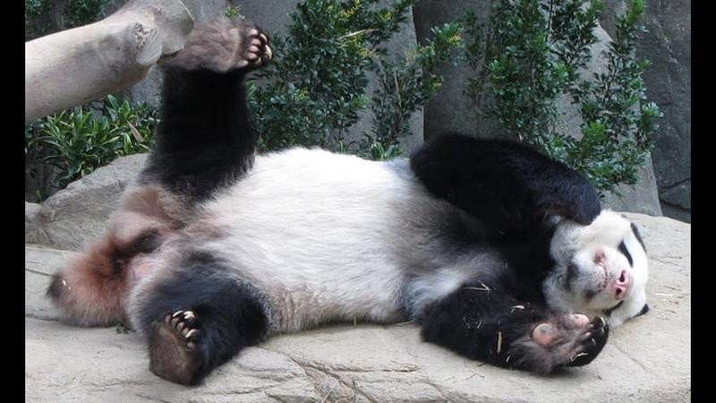 Panda Singapore Zoo. Панда сингапурский зоопарк.