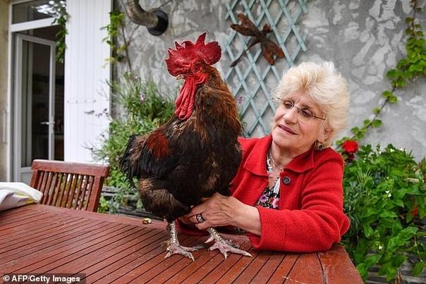 Французский суд разрешил петуху Морису кукарекать по утрам. Птица и его хозяйка Корин Фессо живут на острове Олерон. Относительно недавно рядом с ними поселилась пожилая пара Бирон. Они и подали