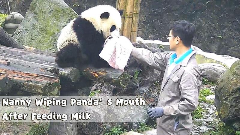 Nanny Wiping Panda's Mouth After Feeding Milk iPanda