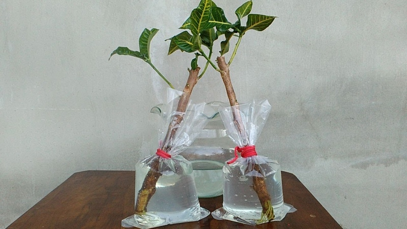 Croton Plant Propagation by Cuttings with Water