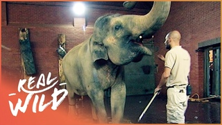 Artificial Elephant Pregnancy Excites Zoo Staff | Animal Madhouse E3 | Real Wild