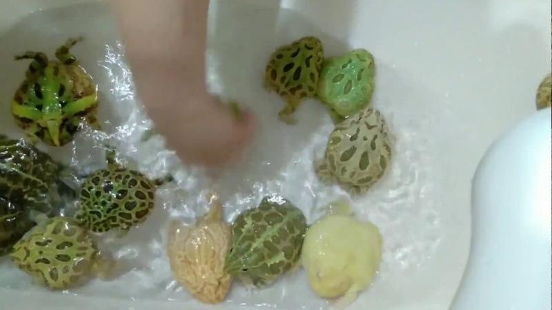 ツノガエル達の掃除パート2、撮るものが無かったわけじゃないよ ω・)