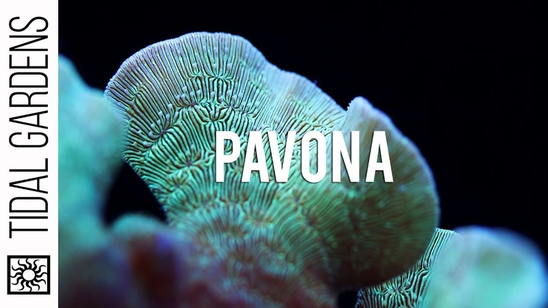 Pavona The Perfect Beginner SPS Coral Overview and Care Tips
