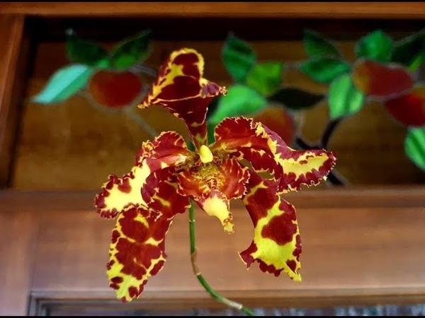 Psychopsis mariposa special уход цветение и выращивание от Елены Шиловой