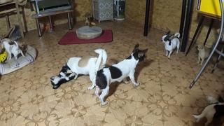 СКРЫТАЯ камера снимает ЧИХУАХУА/ ТРАВМА производственная /питомник чихуа Мари Мистик щенки продаются