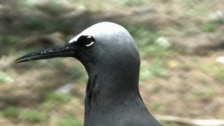 Black Noddy or White-capped Noddy (Anous minutus) on Lady Elliot Island [1]