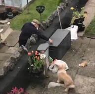 id_10728 Этот пёс невероятно любит старичка, живущего по соседству, и постоянно ждёт у окна, чтобы увидеть, вышел ли тот на улицу