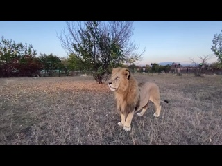 Вот такую перекличку устроили лев Гек и Человек-Лев