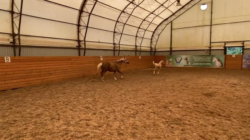 Видео от Пони клуб Верона Пони и миниатюрные лошади