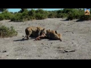 львы едят живую антилопу. дикий мир и поведение животных в нем