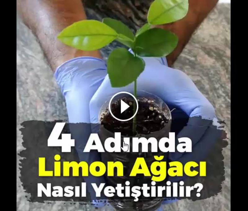 Как вырастить лимон дома.