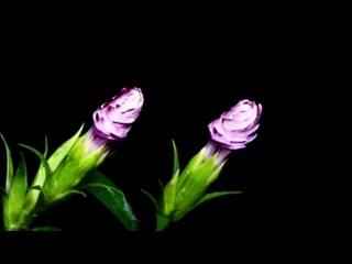 Красивая Азербайджанская Мелодия И Распускаются Цветы