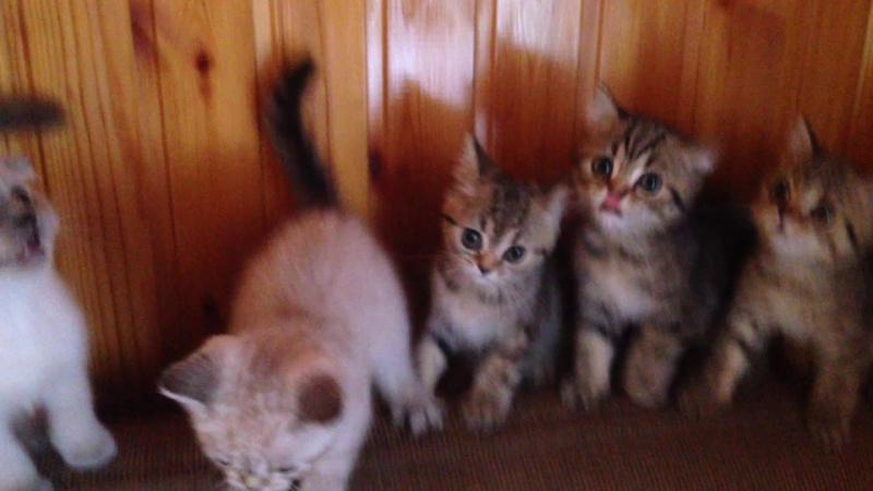 Котята хотят кушать, шотландские вислоухие