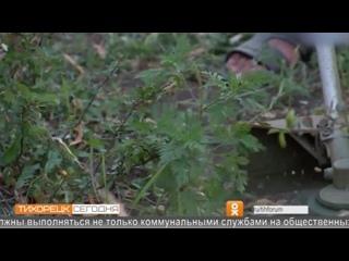 В Тихорецке создан штаб по борьбе с карантинными растениями, в частности - амброзией