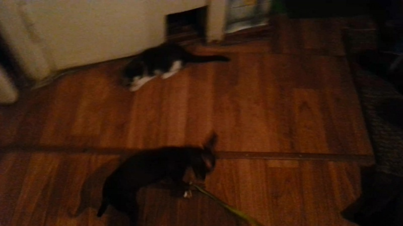 Той-терьер Кэрри и котенок Вафля