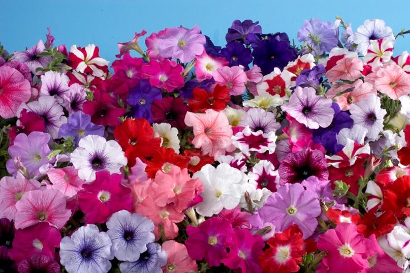 Какие цветы сажают на рассаду в феврале?, изображение №1