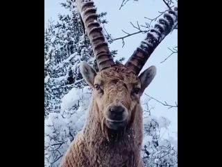Альпийский горный козёл или ибекс.В среднем ибекс достигает длины до 150 см и роста в холке около 90 см. Самцы могут весить до