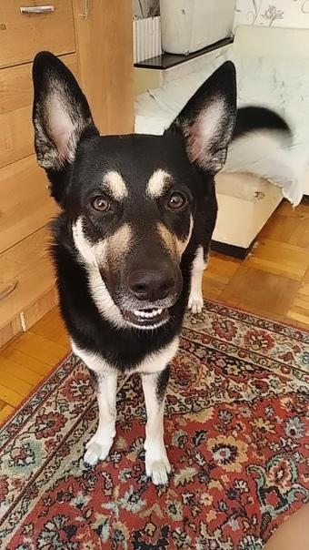 Пропал пес в районе посёлка 31 октября Кто найдёт ...