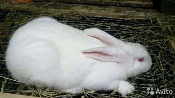 Обмен кролик самец 1,5 года на племя (развязан) на...