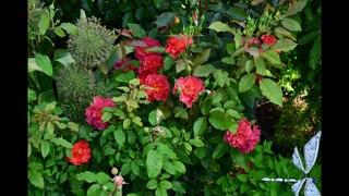Роза флорибунда.  Топ 10 моего сада.