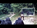 Mother chimpanzee and her child go to mirror training class in which other chimps participate Gabon