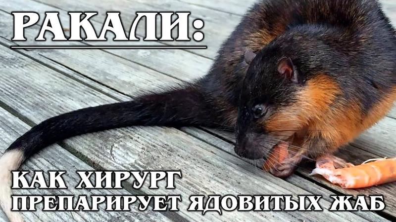 РАКАЛИ Златобрюхая водяная или бобровая крыса эндемик Австралии Интересные факты о крысах