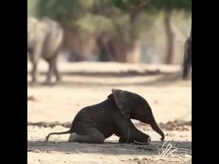 Первые шаги слонёнка после рождения