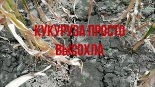 Ячмень сгорел, Кукуруза КСС 5290 просто высохла на корю. Суховей, капризы природы.