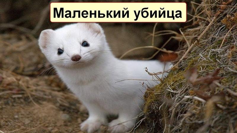 Версус! Ласка и Горностай самые маленькие хищники на земле!