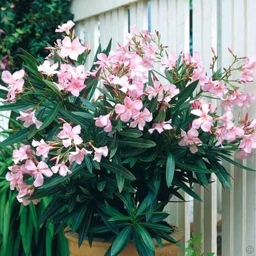Олеандр обыкновенный Олеандры обыкновенные - вечнозеленые кустарники. Листья олеандров обыкновенных: длиной 10 20 см, жесткие, узкие, ланцетовидные, ярко-зеленые или сероваты, похожи на листья