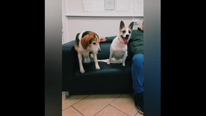 Виталий и бигль Жужа в клинике