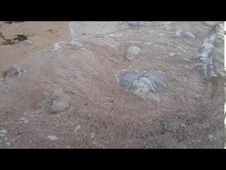 Множество мёртвых медуз вынесло на азовское побережье Крыма