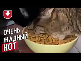 Очень жадный кот