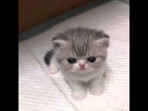 Little Lion's Roar Cute Cat